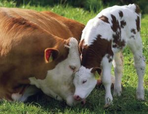 Loving mother with her young calf.  Found free photo to share.